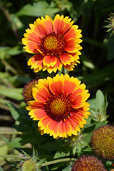 Arizona Sun Blanket Flower (Gaillardia x grandiflora 'Arizona Sun') at Peck's Green Thumb Nursery