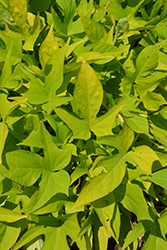Sweet Georgia® Light Green Sweet Potato Vine (Ipomoea batatas 'Sweet Georgia Light Green') at Peck's Green Thumb Nursery