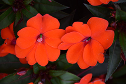 SunPatiens® Compact Orange New Guinea Impatiens (Impatiens 'SunPatiens Compact Orange') at Peck's Green Thumb Nursery