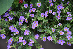 Snowstorm® Blue Bacopa (Sutera cordata 'Snowstorm Blue') at Peck's Green Thumb Nursery