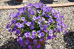 Surfinia® Heavenly Blue Petunia (Petunia 'Surfinia Heavenly Blue') at Peck's Green Thumb Nursery