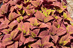 ColorBlaze® Royal Glissade® Coleus (Solenostemon scutellarioides 'Royal Glissade') at Peck's Green Thumb Nursery