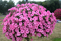 Supertunia Vista® Bubblegum Petunia (Petunia 'Supertunia Vista Bubblegum') at Peck's Green Thumb Nursery