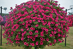 Supertunia® Sangria Charm Petunia (Petunia 'Supertunia Sangria Charm') at Peck's Green Thumb Nursery