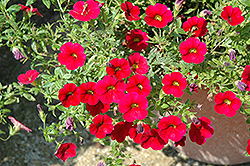 Superbells® Red Calibrachoa (Calibrachoa 'Superbells Red') at Peck's Green Thumb Nursery