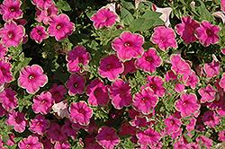 Supertunia® Picasso In Pink Petunia (Petunia 'Supertunia Picasso In Pink') at Peck's Green Thumb Nursery