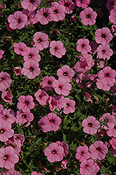 Supertunia® Flamingo Petunia (Petunia 'Supertunia Flamingo') at Peck's Green Thumb Nursery