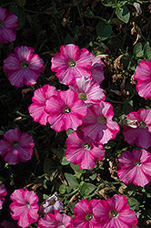Supertunia® Raspberry Blast Petunia (Petunia 'Supertunia Raspberry Blast') at Peck's Green Thumb Nursery