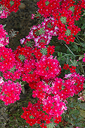 Lanai® Twister™ Red Verbena (Verbena 'Lanai Twister Red') at Peck's Green Thumb Nursery