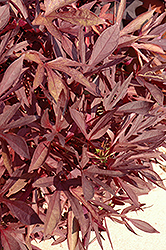 Illusion Garnet Lace Sweet Potato Vine (Ipomoea batatas 'Illusion Garnet Lace') at Peck's Green Thumb Nursery
