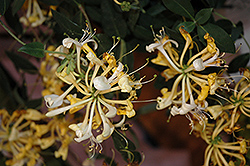 Scentsation Honeysuckle (Lonicera periclymenum 'Scentsation') at Peck's Green Thumb Nursery