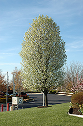 Chanticleer Ornamental Pear (Pyrus calleryana 'Chanticleer') at Peck's Green Thumb Nursery