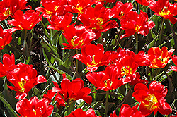 Abba Tulip (Tulipa 'Abba') at Peck's Green Thumb Nursery