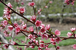 Reliance Peach (Prunus persica 'Reliance') at Peck's Green Thumb Nursery
