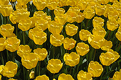 Golden Appeldoorn Tulip (Tulipa 'Golden Appeldoorn') at Peck's Green Thumb Nursery