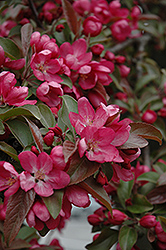 Centurion Flowering Crab (Malus 'Centurion') at Peck's Green Thumb Nursery