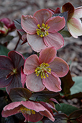 Pink Frost Hellebore (Helleborus 'COSEH 710') at Peck's Green Thumb Nursery