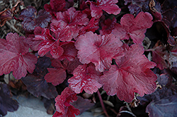 Galaxy Coral Bells (Heuchera 'Galaxy') at Peck's Green Thumb Nursery