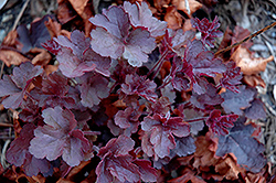 Coco Coral Bells (Heuchera 'Coco') at Peck's Green Thumb Nursery