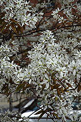 Spring Flurry Serviceberry (Amelanchier laevis 'JFS-Arb') at Peck's Green Thumb Nursery
