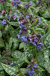 High Contrast Lungwort (Pulmonaria 'High Contrast') at Peck's Green Thumb Nursery