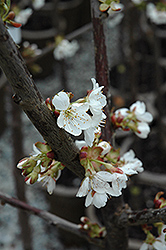 Stella Cherry (Prunus avium 'Stella') at Peck's Green Thumb Nursery