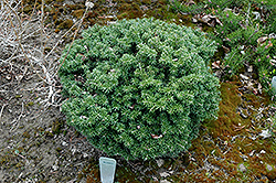 Cis Dwarf Korean Fir (Abies koreana 'Cis') at Peck's Green Thumb Nursery