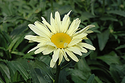 Banana Cream Shasta Daisy (Leucanthemum x superbum 'Banana Cream') at Peck's Green Thumb Nursery