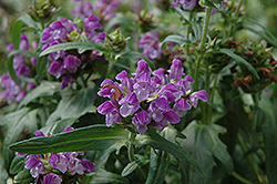 Freelander Blue Self Heal (Prunella grandiflora 'Freelander Blue') at Peck's Green Thumb Nursery