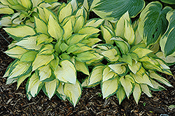 Orange Marmalade Ball Hosta (Hosta 'Orange Marmalade') at Peck's Green Thumb Nursery