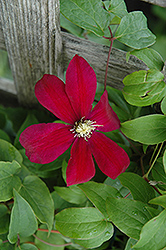 Sunset Clematis (Clematis 'Sunset') at Peck's Green Thumb Nursery