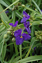 Zwanenburg Blue Spiderwort (Tradescantia x andersoniana 'Zwanenburg Blue') at Peck's Green Thumb Nursery