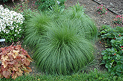 Prairie Dropseed (Sporobolus heterolepis) at Peck's Green Thumb Nursery