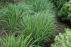 Cheyenne Sky Switch Grass (Panicum virgatum 'Cheyenne Sky') at Peck's Green Thumb Nursery