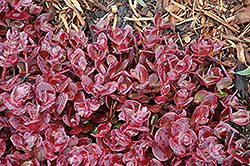 Cherry Tart Stonecrop (Sedum 'Cherry Tart') at Peck's Green Thumb Nursery