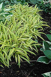 Banana Boat Broadleaf Sedge (Carex siderosticha 'Banana Boat') at Peck's Green Thumb Nursery