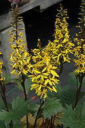 Little Rocket Rayflower (Ligularia 'Little Rocket') at Peck's Green Thumb Nursery