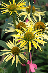 Maui Sunshine Coneflower (Echinacea 'Maui Sunshine') at Peck's Green Thumb Nursery