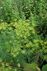 Dill (Anethum graveolens) at Peck's Green Thumb Nursery