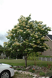 Japanese Tree Lilac (Syringa reticulata) at Peck's Green Thumb Nursery