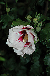 Helene Rose of Sharon (Hibiscus syriacus 'Helene') at Peck's Green Thumb Nursery