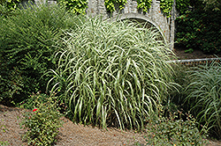 Cabaret Maiden Grass (Miscanthus sinensis 'Cabaret') at Peck's Green Thumb Nursery