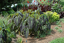 Illustris Elephant Ear (Colocasia esculenta 'Illustris') at Peck's Green Thumb Nursery