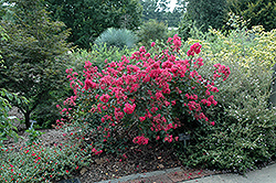 Red Filli Crapemyrtle (Lagerstroemia indica 'Red Filli') at Peck's Green Thumb Nursery
