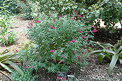Miss Ruby Butterfly Bush (Buddleia davidii 'Miss Ruby') at Peck's Green Thumb Nursery