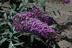 Royal Falls Butterfly Bush (Buddleia 'Royal Falls') at Peck's Green Thumb Nursery