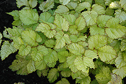 Amber Moon Chinese Astilbe (Astilbe chinensis 'Amber Moon') at Peck's Green Thumb Nursery