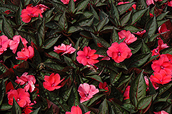 SunPatiens® Compact Deep Rose New Guinea Impatiens (Impatiens 'SunPatiens Compact Deep Rose') at Peck's Green Thumb Nursery