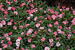SunPatiens® Spreading Pink Flash New Guinea Impatiens (Impatiens 'SunPatiens Spreading Pink Flash') at Peck's Green Thumb Nursery