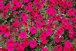 Tidal Wave Cherry Petunia (Petunia 'Tidal Wave Cherry') at Peck's Green Thumb Nursery